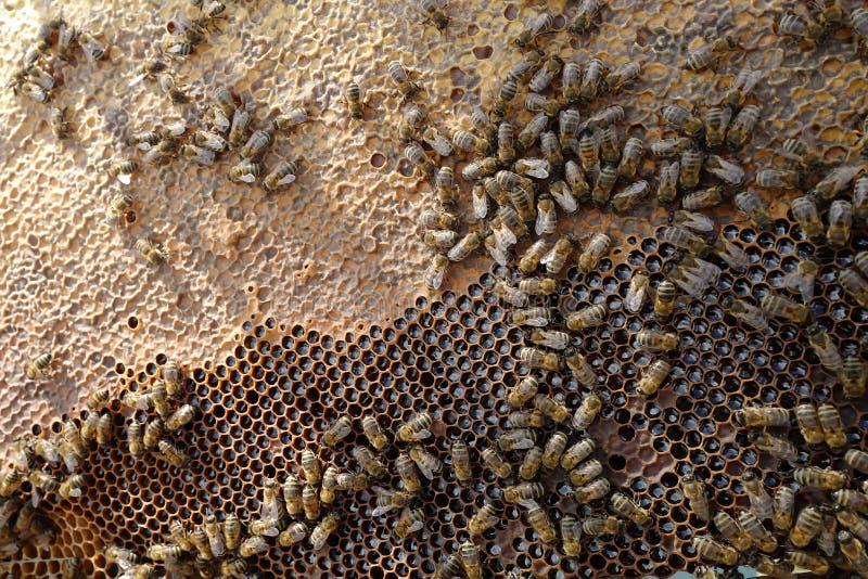 在蜂窝的蜂 免版税库存照片