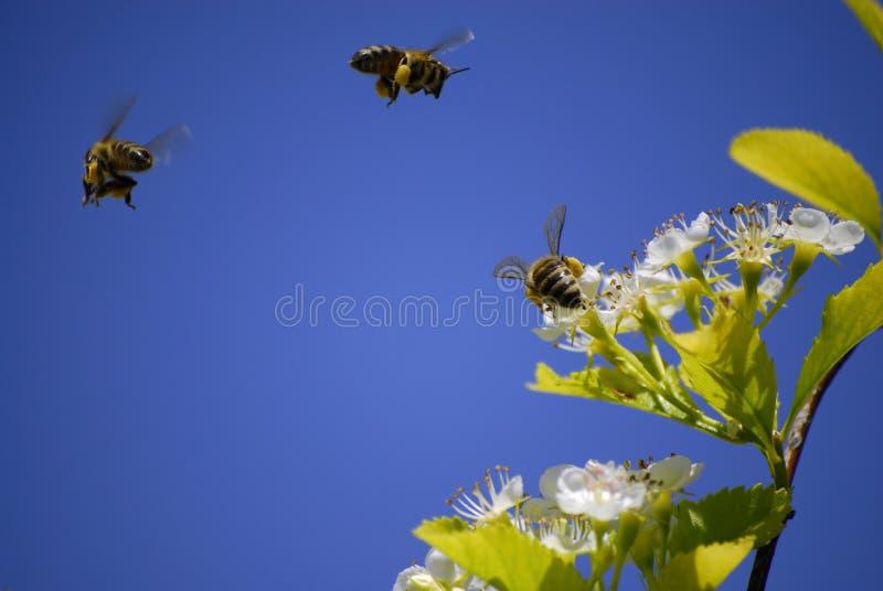 在蜂花飞行附近 库存照片