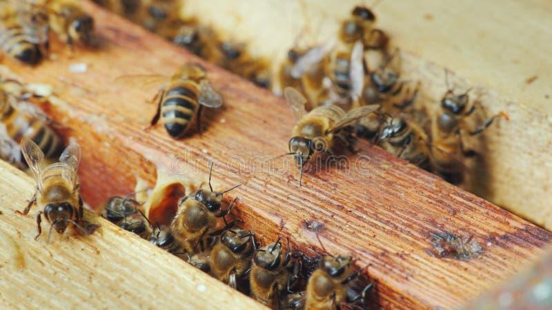 在蜂蜂房里面的生活 在框架的蜂工作用蜂蜜 免版税库存照片