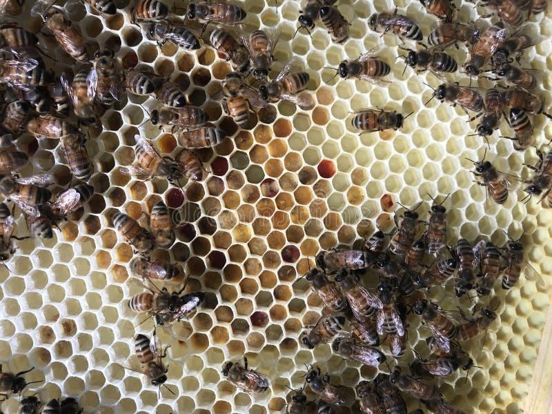 在蜂蜜蜂蜂房的春天花粉 库存图片