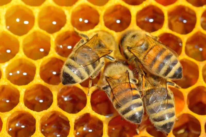 在蜂蜜细胞的工作的蜂 免版税库存图片