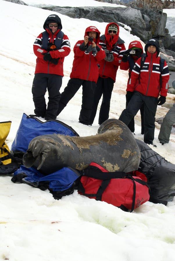 在蜕变的年轻海象在行李袋 免版税图库摄影