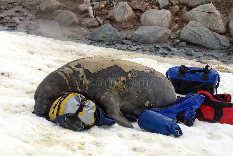 在蜕变的年轻海象在行李袋 免版税库存图片