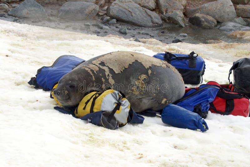 在蜕变的年轻海象在行李袋 免版税库存照片