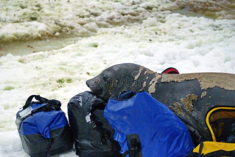 在蜕变的年轻海象在行李袋 库存图片