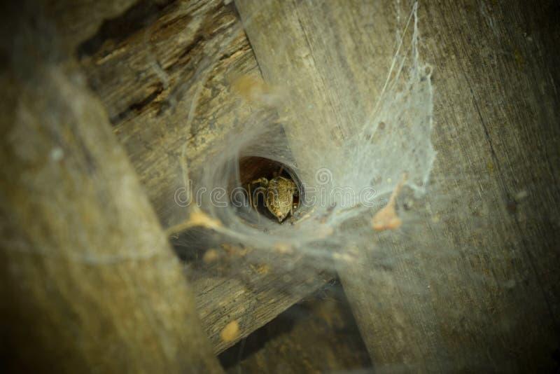 在蜘蛛的穴,他的腹部是可看见的 库存图片