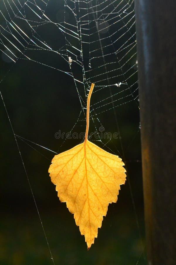 在蜘蛛网的叶子 免版税库存图片