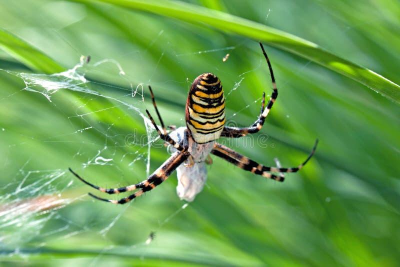在蜘蛛网的黄蜂蜘蛛与草 库存图片
