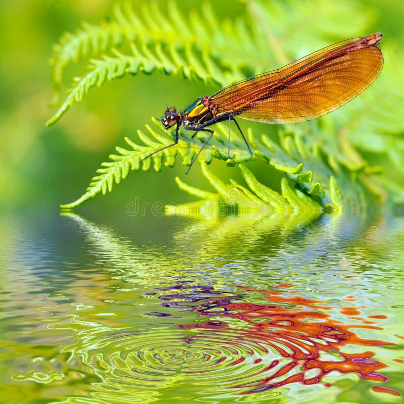 在蜻蜓蕨宏指令水之上 库存照片