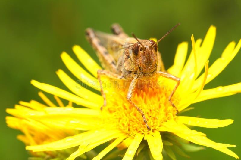 在蝗虫的花 图库摄影