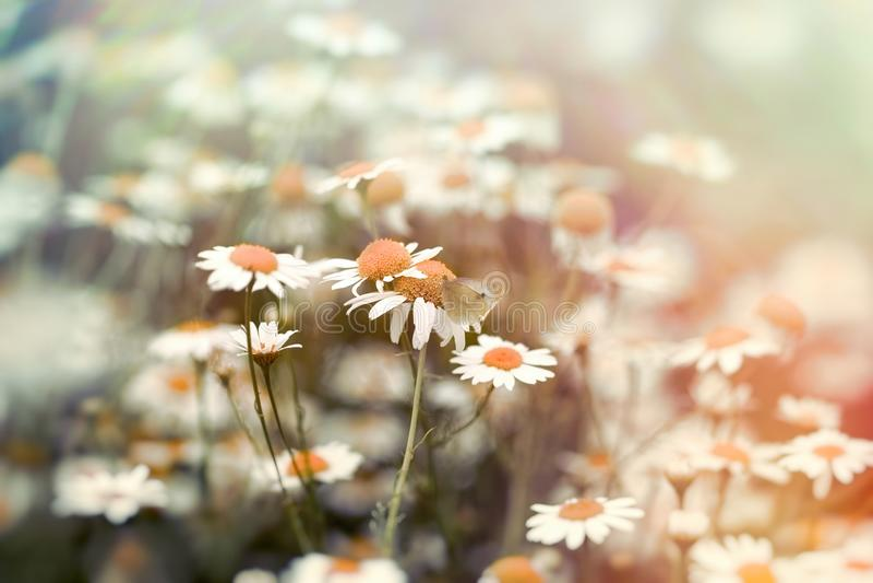 在蝴蝶,在春黄菊野生春黄菊的白色蝴蝶的选择聚焦 免版税库存图片