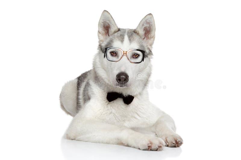 在蝶形领结的西伯利亚爱斯基摩人狗在空白背景 免版税图库摄影