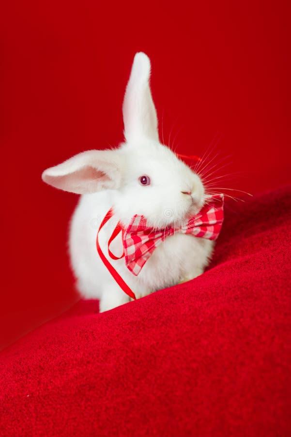 在蝶形领结的白色兔子 图库摄影