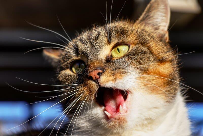 在行动的一张五颜六色的猫面孔 她做着喵喵叫和miaow 有设法开放的嘴的一个猫头问好 免版税图库摄影