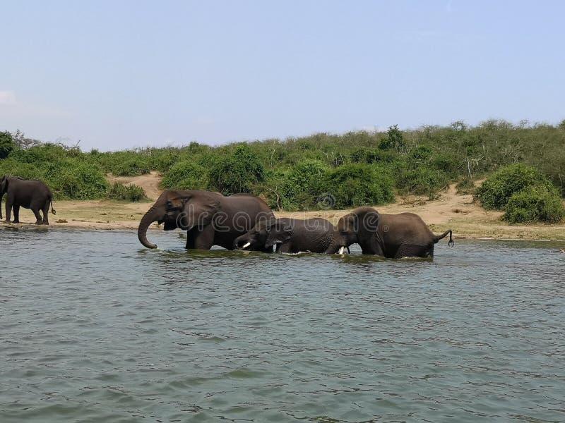 在行动的大象家庭 库存照片