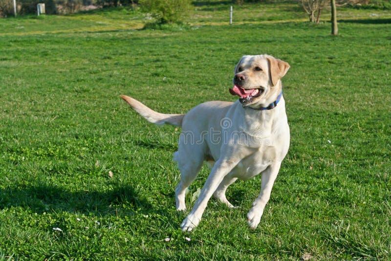 在行动的拉布拉多狗 库存图片