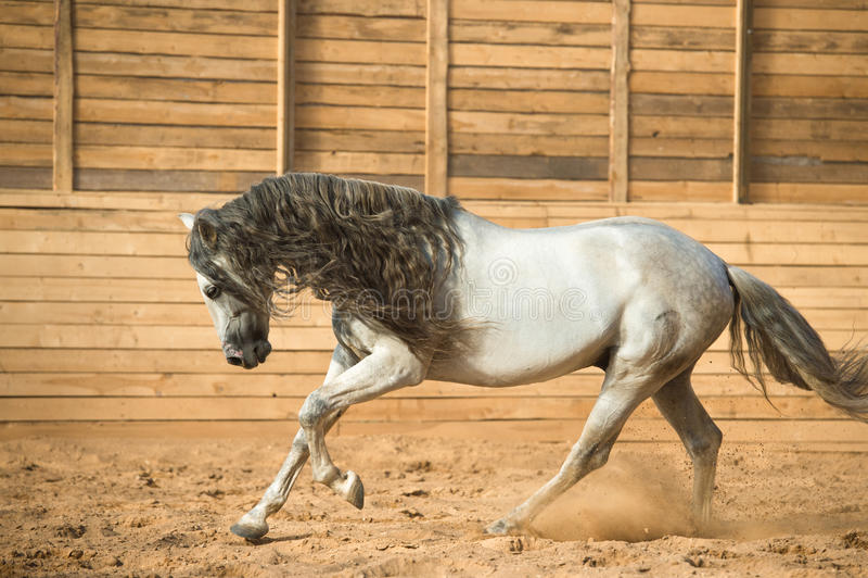 在行动的白色安达卢西亚的马画象 免版税库存照片