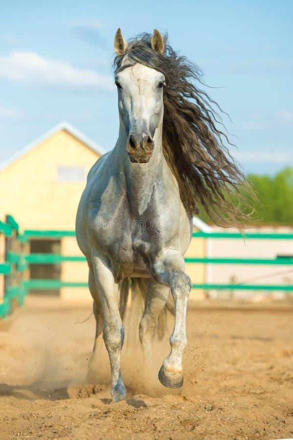 在行动的白色安达卢西亚的马画象 图库摄影
