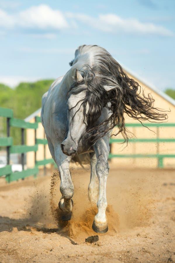 在行动的白色安达卢西亚的马画象 免版税图库摄影