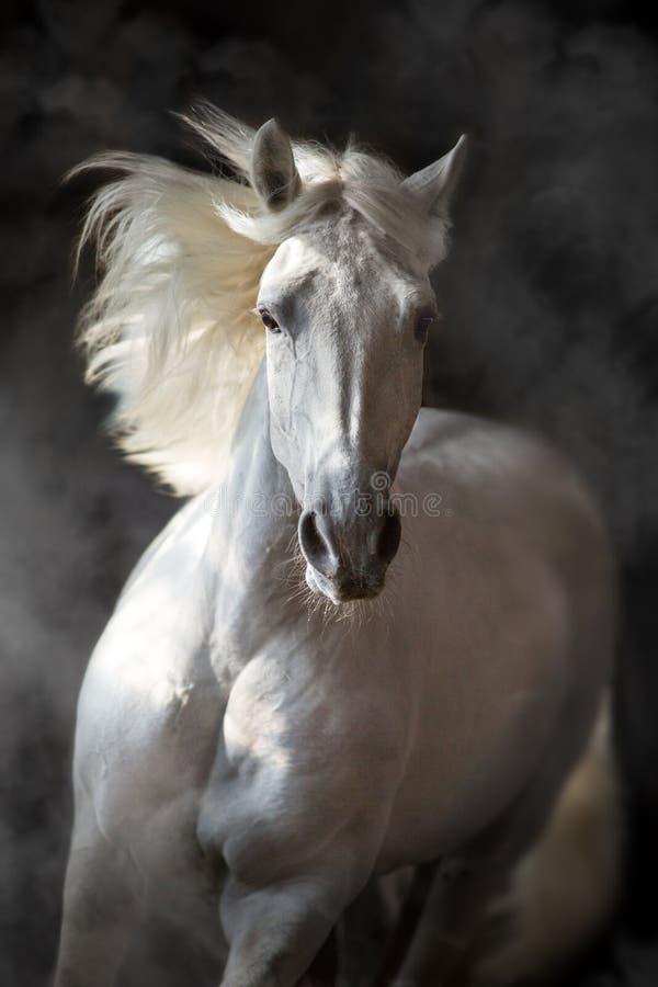 在行动的白色安达卢西亚的马 免版税库存照片