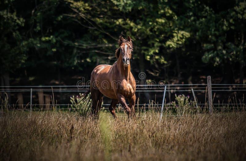 在行动的美丽的公马在草甸 库存照片