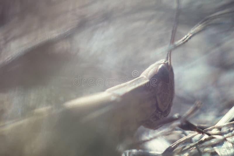 在行动的蚂蚱在草关闭 在狂放的生活,宏观 软绵绵地集中 库存照片