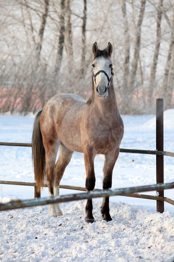 在行动的起斑纹灰色阿拉伯马在雪大农场 图库摄影