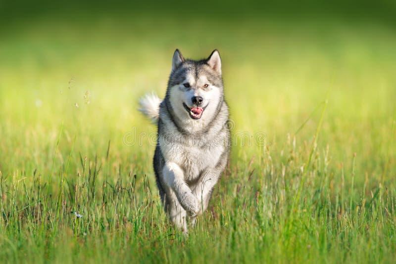 在行动的阿拉斯加的爱斯基摩狗 库存图片