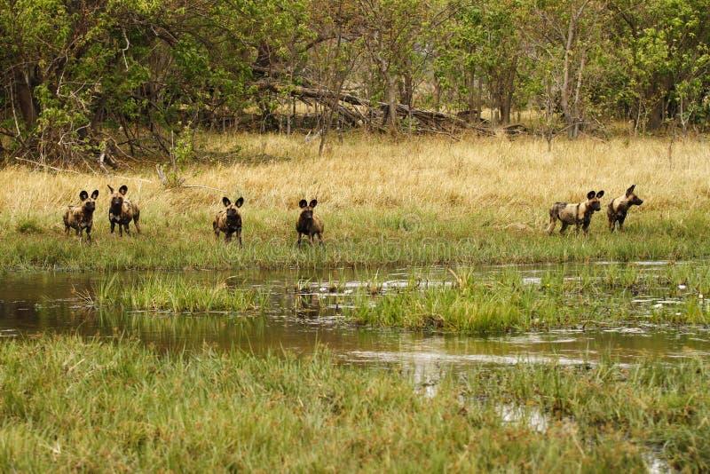 在行动的非洲豺狗组装 库存图片