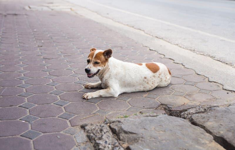 在街道上放弃的无家可归和饥饿的狗 免版税库存照片
