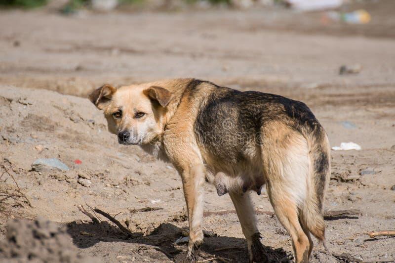 在街道上的一条狗 库存图片