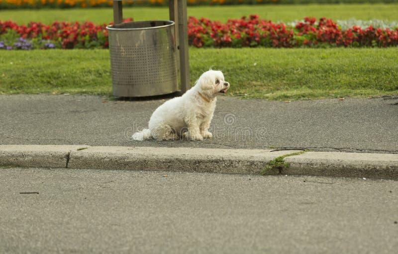 在街道上的幽静白色狗 免版税库存照片