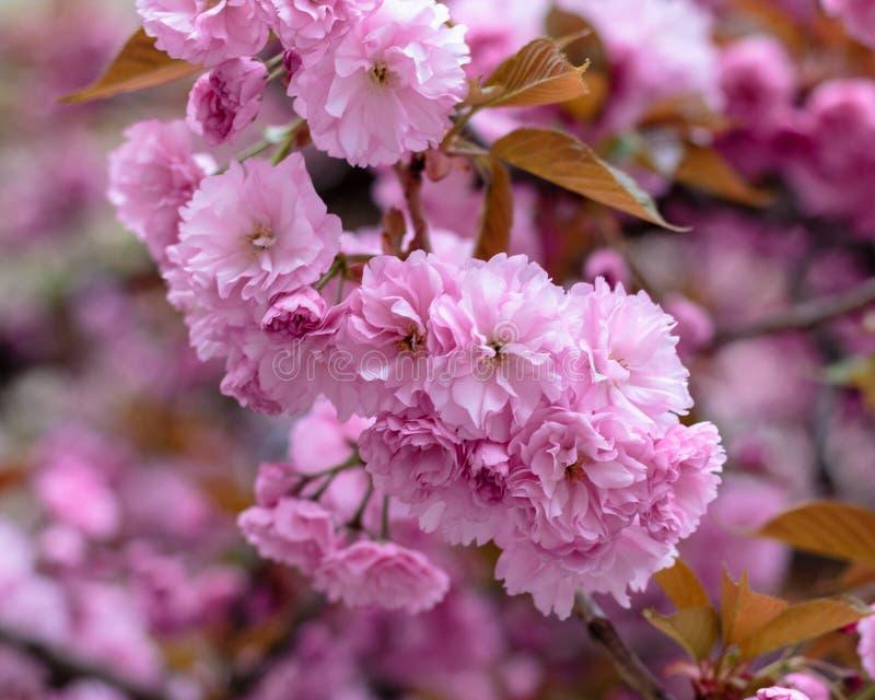 在街道上的开花的桃红色佐仓树 免版税图库摄影
