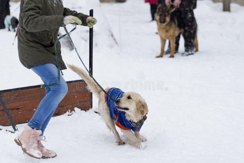 在街道上的金毛猎犬训练在冬天 库存照片
