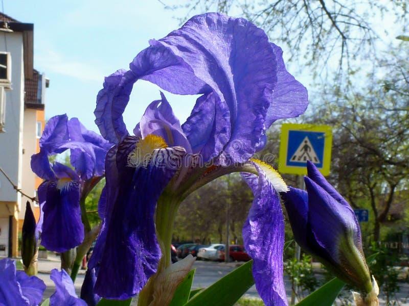 在街道大农场主的紫色虹膜特写镜头在4月 库存照片