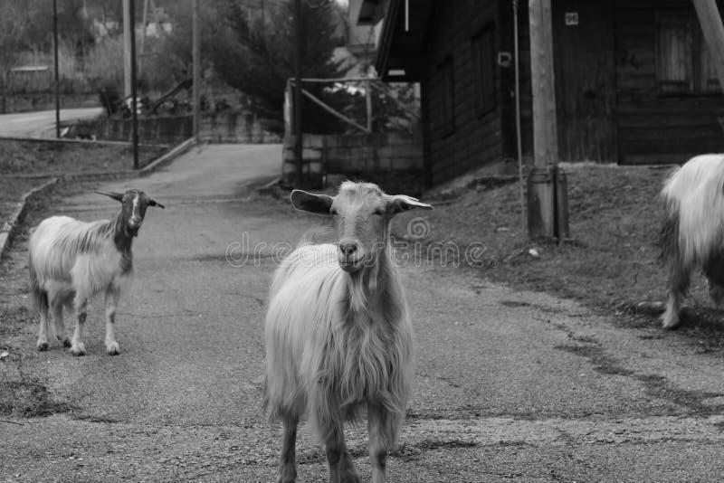在街道的山羊 免版税库存照片