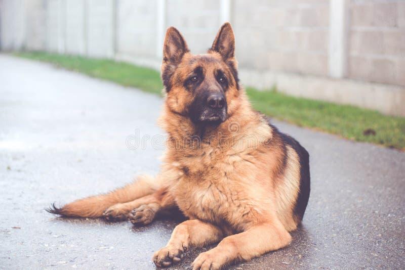 在街道的狗纵向 免版税库存照片