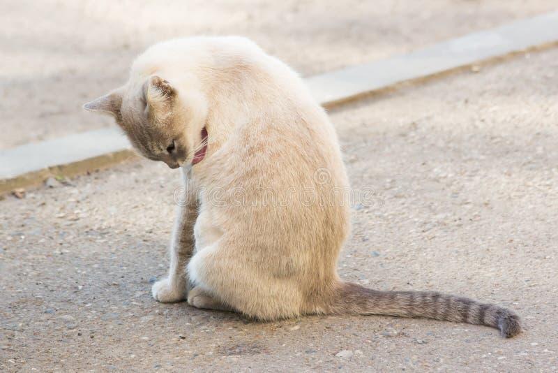 在街道的美丽的灰色无家可归的猫 库存照片