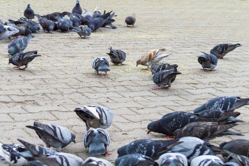 在街道的边路的很多鸽子 库存图片