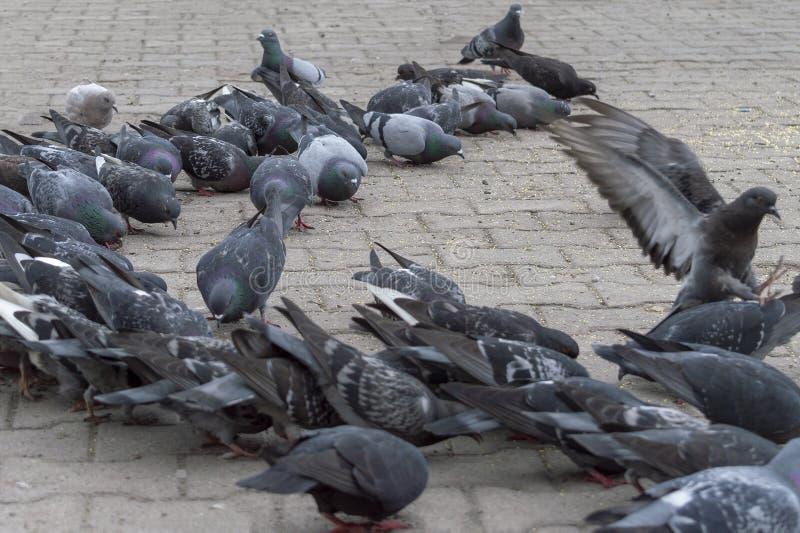 在街道的边路的很多鸽子 免版税图库摄影