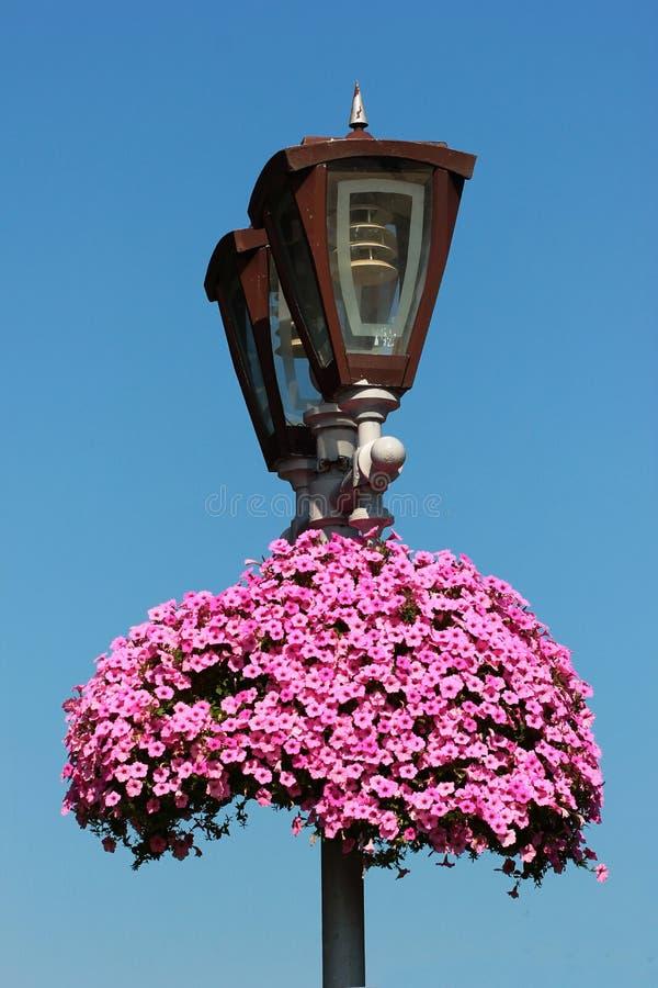 在街道路灯柱的桃红色喇叭花花 免版税库存照片
