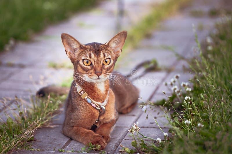 在衣领的美丽的埃塞俄比亚猫,特写镜头画象,温文地说谎 库存图片