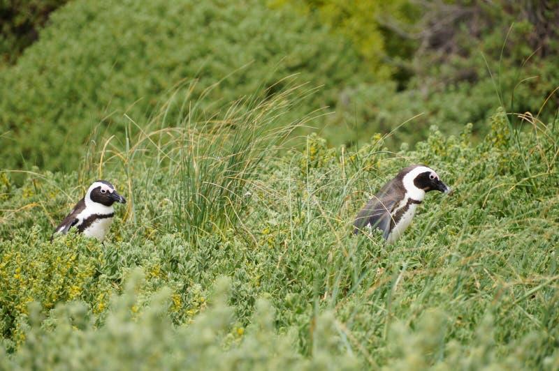 在表Moutain国家公园,南非的企鹅 图库摄影