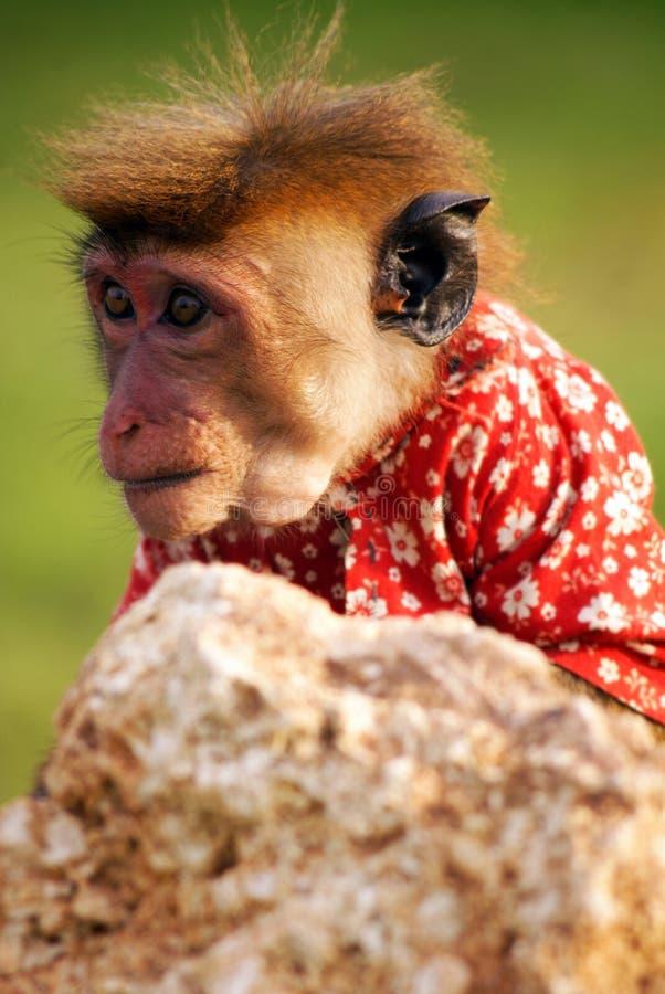 在衬衣的小的猴子 免版税库存图片