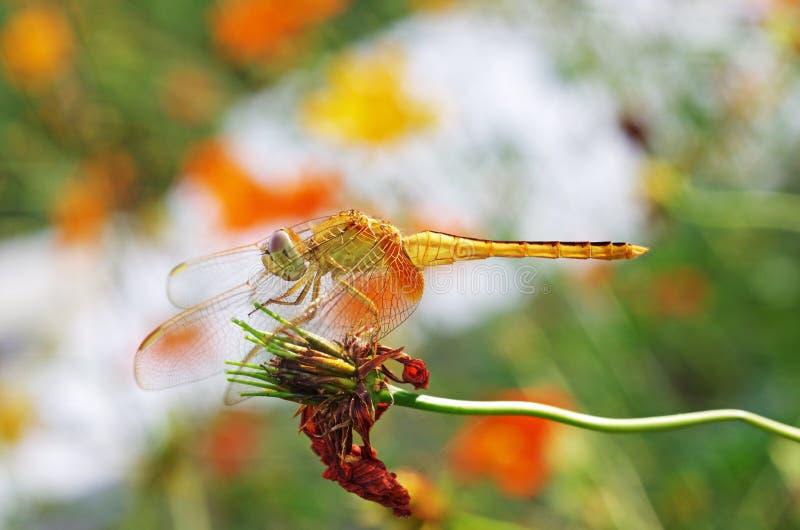 在衰老花的蜻蜓 免版税库存照片图片