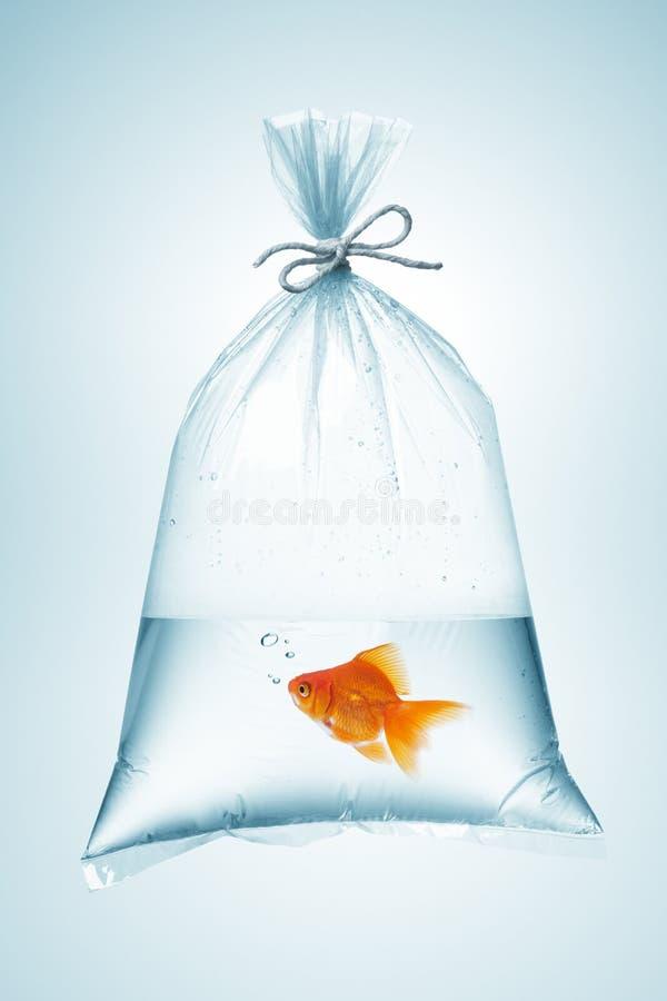 在袋子的金鱼 免版税库存图片