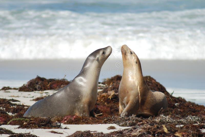 在袋鼠海岛,澳大利亚的封印 库存图片
