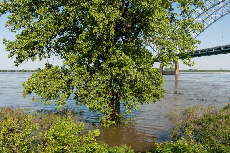 在被充斥的密西西比河银行的部分地被淹没的树春天 库存照片