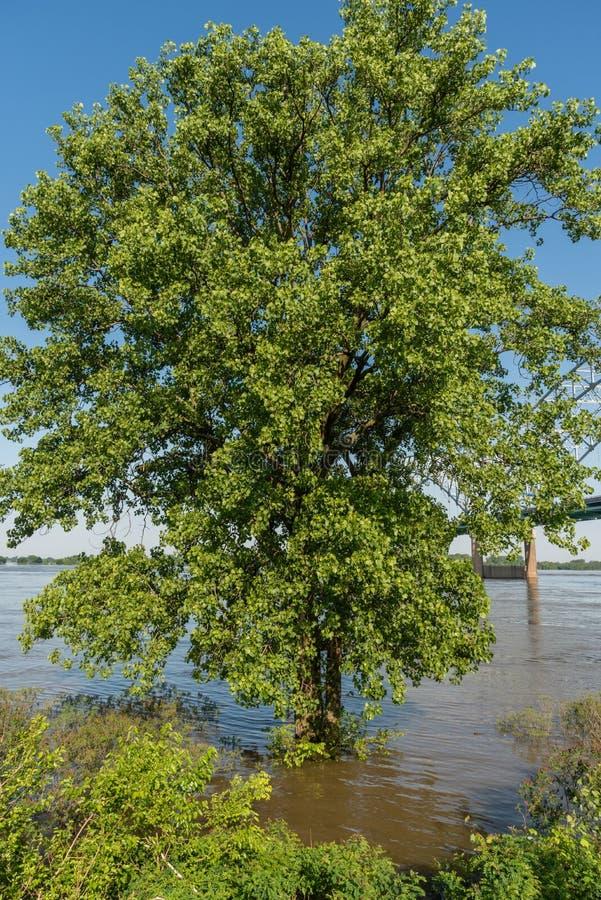 在被充斥的密西西比河银行的部分地被淹没的树春天 免版税库存照片