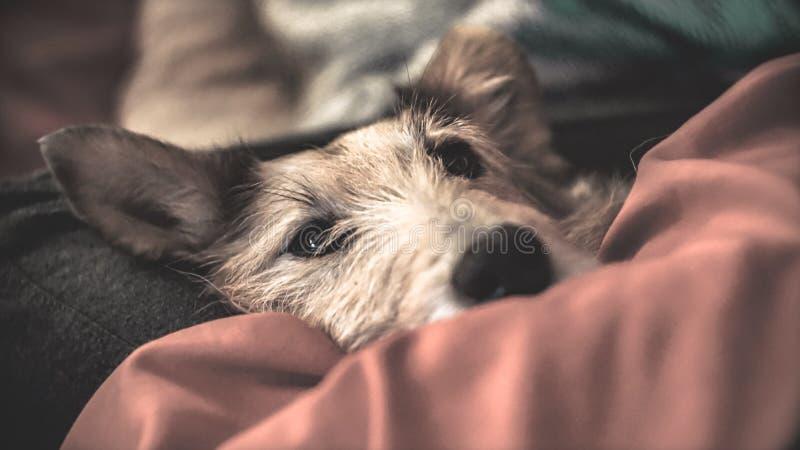 在被子下的睡觉狗 免版税库存图片